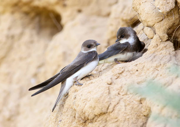 a couple european sand martin, bank swallow near nest. - rondine foto e immagini stock