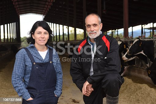 couple farmer with cows