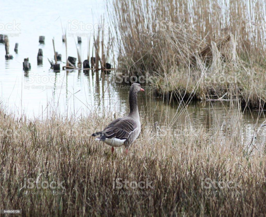 couple greylag goose (Anser anser) in swamp stock photo