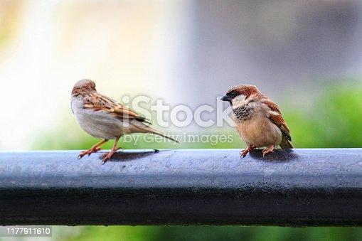 521620252istockphoto Couple house sparrow bird in nature photography 1177911610