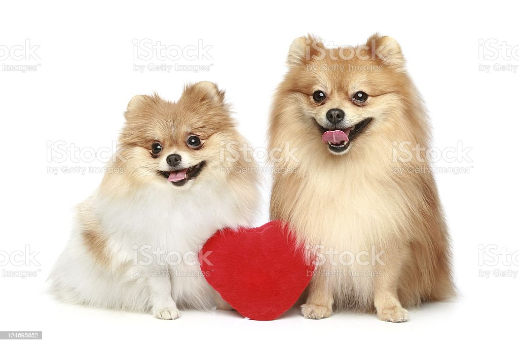 Couple In Love Spitz Puppies On A White Background Stock Photo Download Image Now Istock