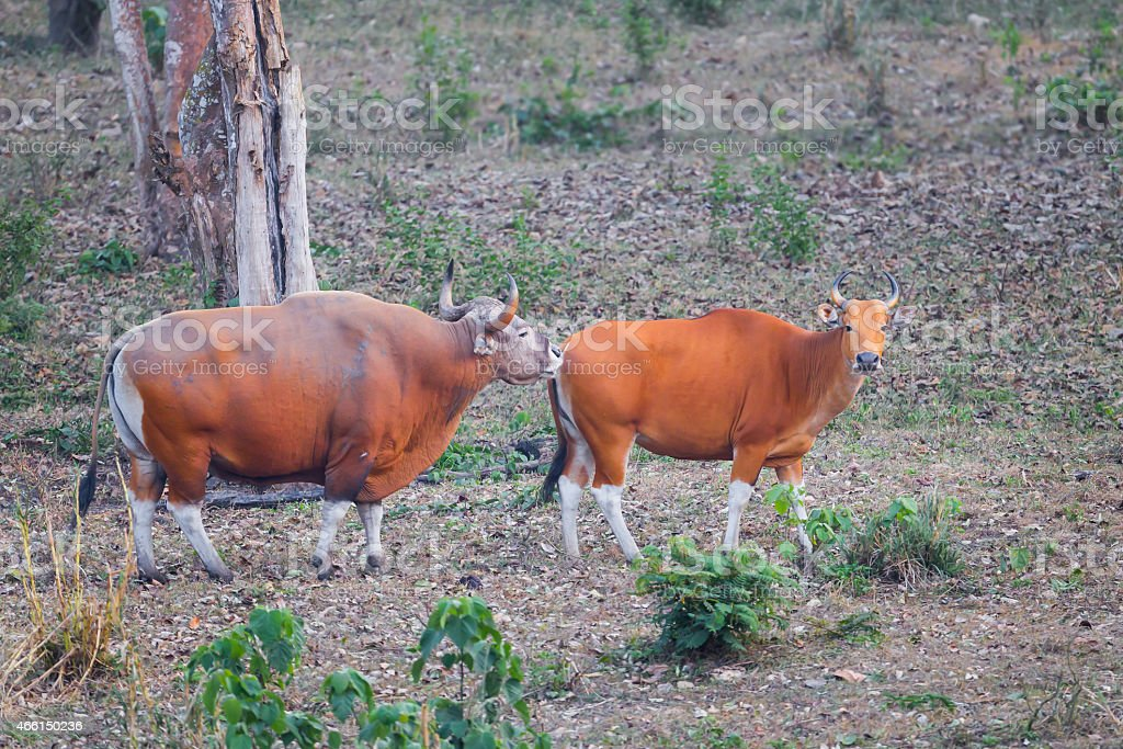 Couple Male and female of  Banteng stock photo