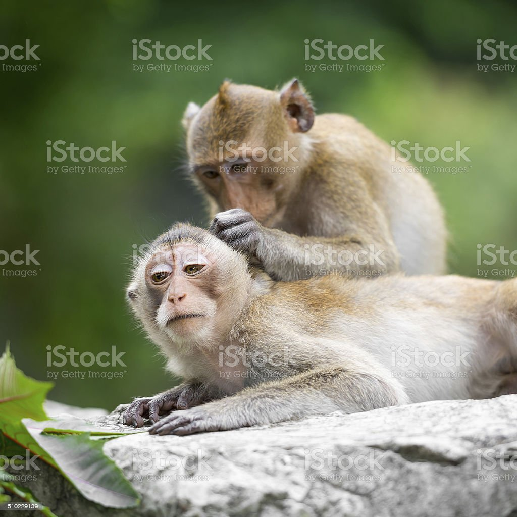 Couple monkey stock photo