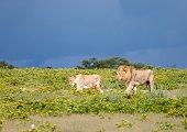 Weibliche und männliche Löwen an einem Wasserloch im Etoscha National Park in Namibia