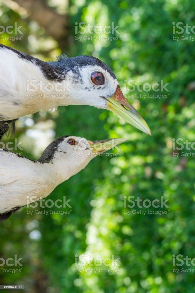 Couple of amaurornis phoenicurus birds stock photo