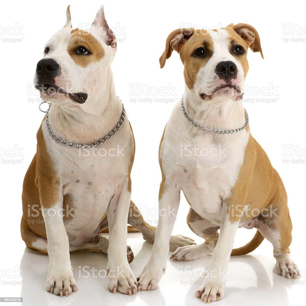Paar American Staffordshire-Terriern Lizenzfreies stock-foto