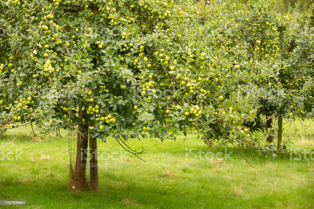 Couple of apple trees full of fruit. stock photo