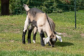 Couple of baby goat children are eating grass, on a spring day.