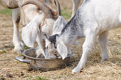 Couple of baby goat children are eating kibble with their mother, on the spring grass.