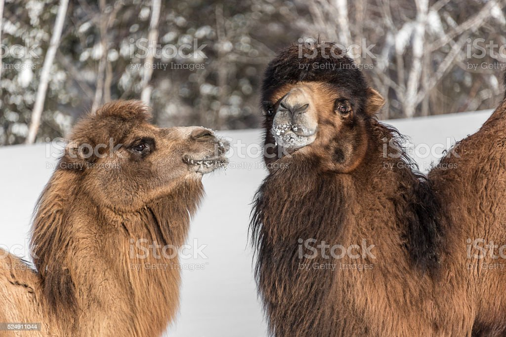 couple of Bactrian camels in winter stock photo
