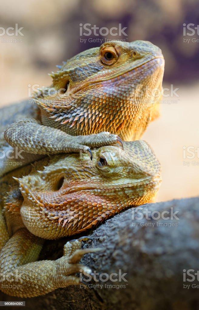 Couple of bearded dragons stock photo