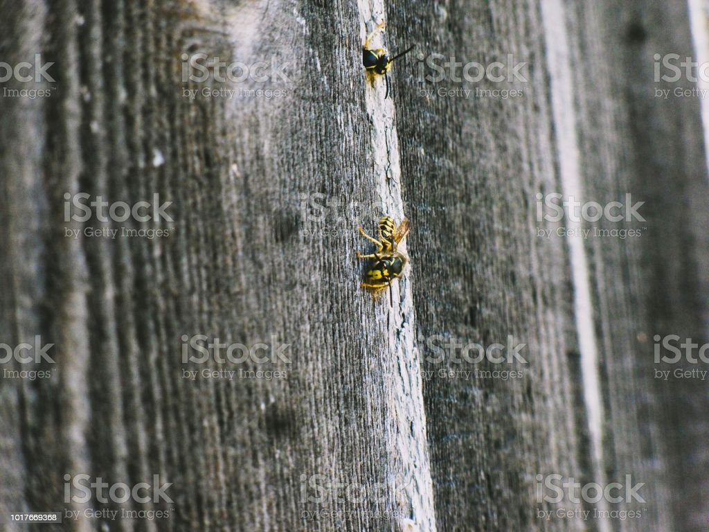 A couple of bees. stock photo
