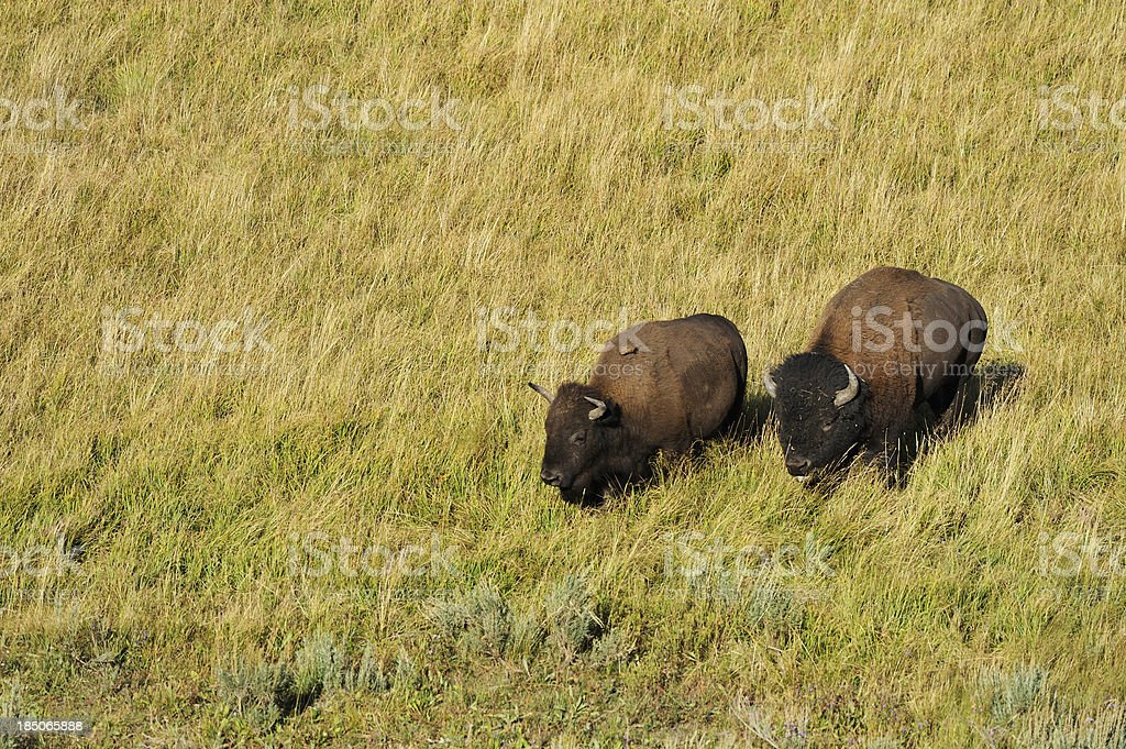 Couple of bison stock photo