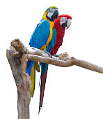 Couple of blue and red macaw parrots on branch isolated on white background