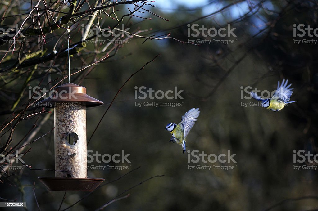 Couple of blue birds approaching a bird house stock photo