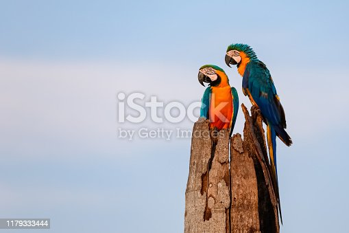 Endangered Blue-and-yellow macaws in natural habitat, sleeping place