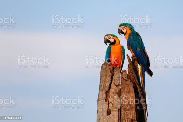Photo of A couple of Blue-and-yellow macaws sitting on a palm tree stump, looking to the left, against bright blue sky, Amazonia, San Jose do Rio Claro, Mato Grosso, Brazil