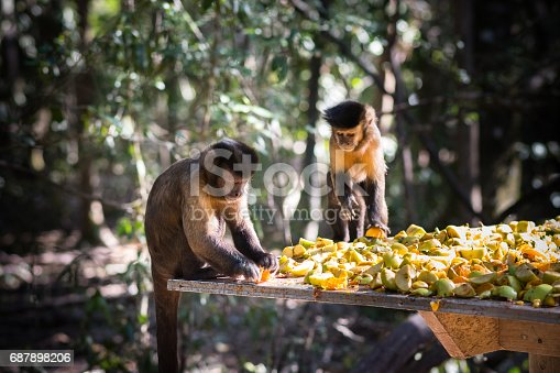 A Couple of Capuchin Monkeys are eating fruit together They appear to be friends. Shot in Knysna in South Africa during April 2017.