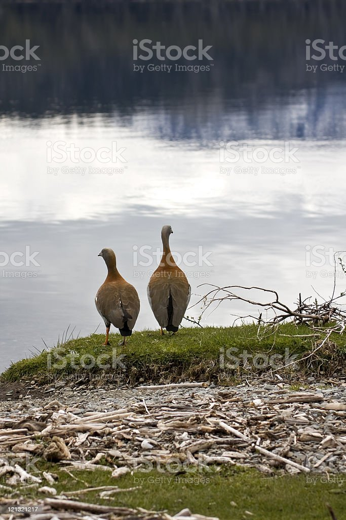 Couple of 'cauquenes' royalty-free stock photo