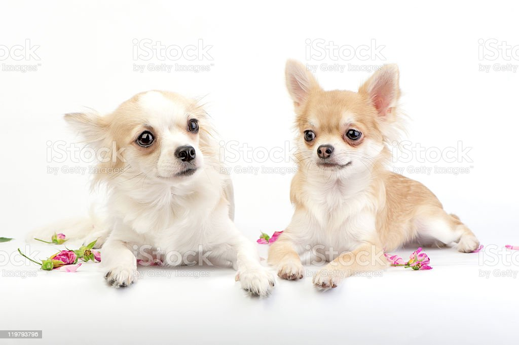 couple of chihuahua dogs lying on white royalty-free stock photo