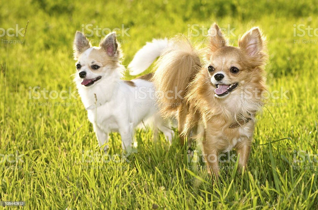 couple of  Chihuahuas royalty-free stock photo