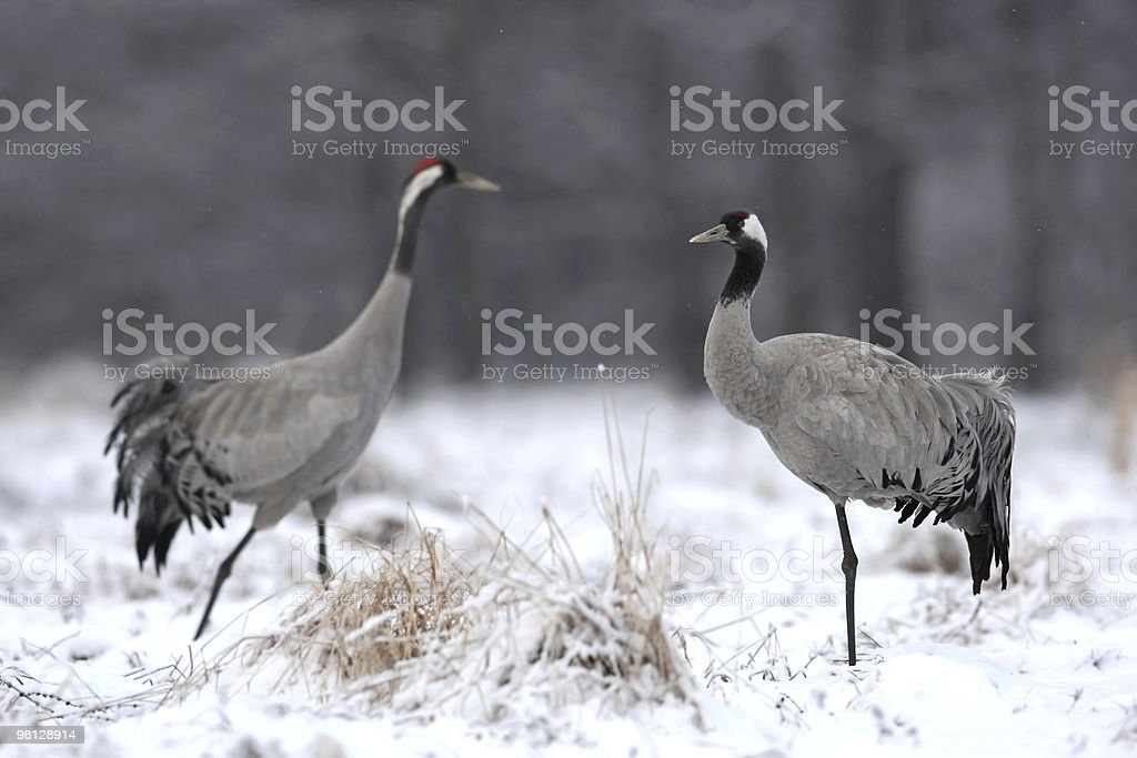 Couple of cranes royalty-free stock photo