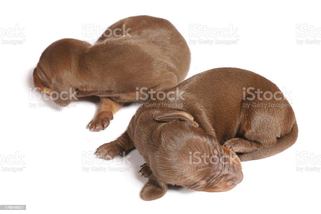 Couple of cute sleeping dachshund puppies stock photo
