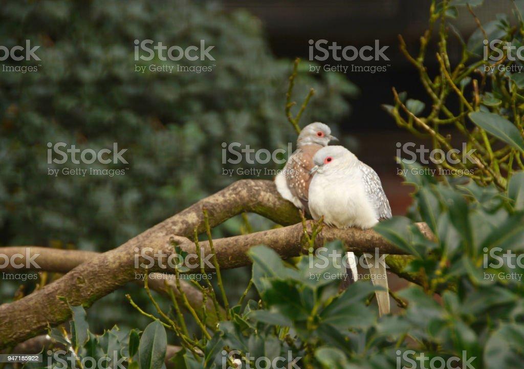 Couple of Diamond Dove stock photo