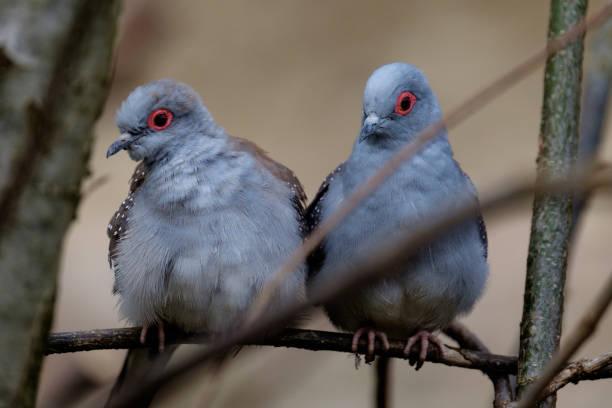 Ein paar Diamant Tauben – Foto