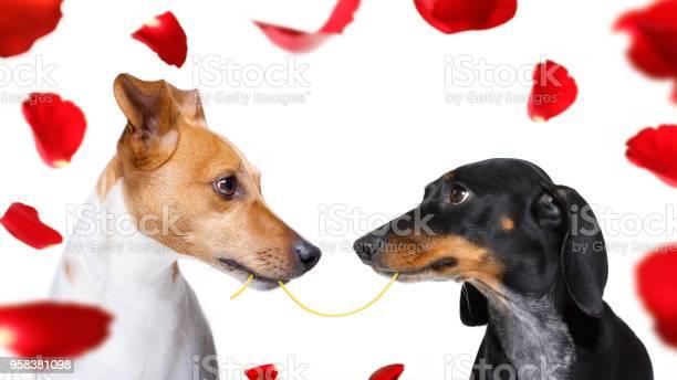 Couple of dogs in love picture id958381098?b=1&k=6&m=958381098&s=612x612&h=jgjqt9epw2vzqayfedtmozdnfxaoq2nwpbtachyoviu=
