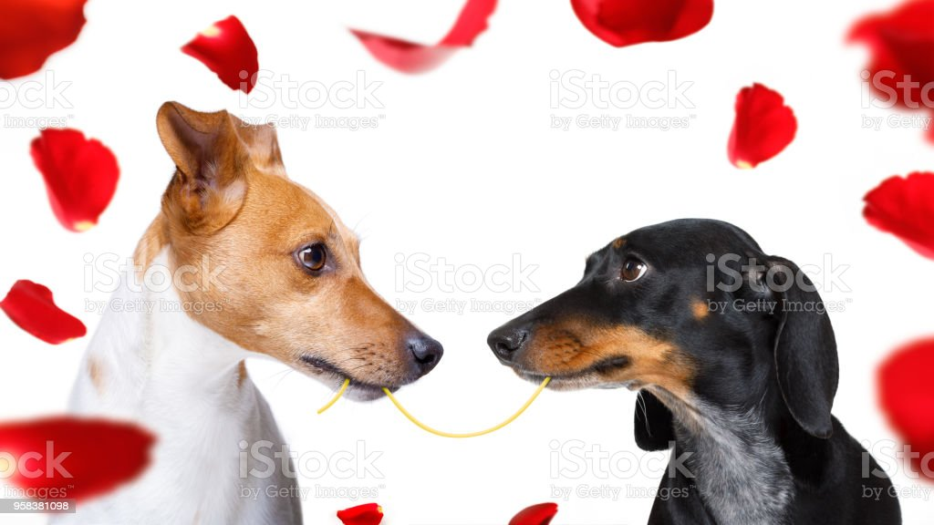 couple of dogs  in love stock photo