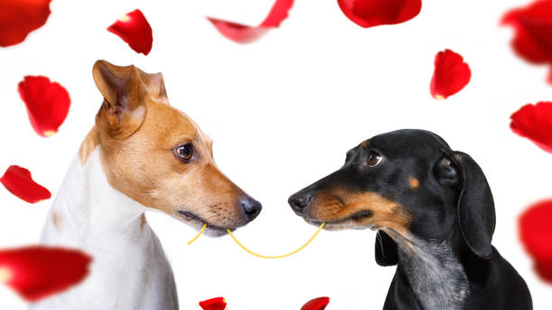 couple of dogs  in love couple  of dogs in love , looking each other in the eyes, with passion, isolated on white background animal valentine stock pictures, royalty-free photos & images