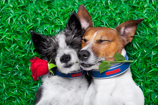 Two terriers hold a rose in their mouth for valentine's day