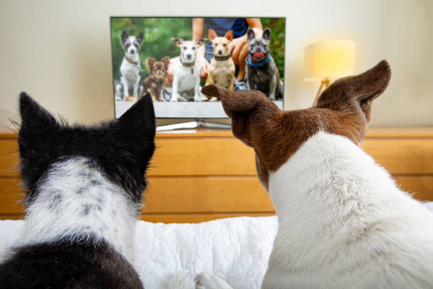 Couple of dogs watching tv picture id1266276824?b=1&k=6&m=1266276824&s=612x612&w=0&h=nqyp5z x2suhht4pvafy5lbyke3gp elgggkls sdac=