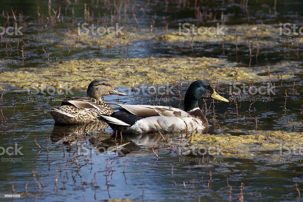 Couple of ducks royalty-free stock photo