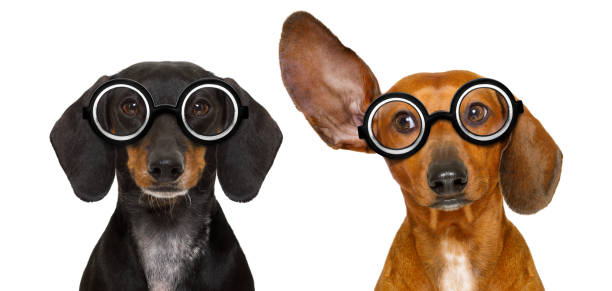 couple of dumb nerd silly dachshunds stock photo