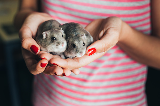 Couple of dwarf hamsters in girl hands