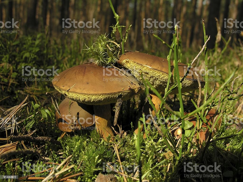Couple of edible mushrooms stock photo