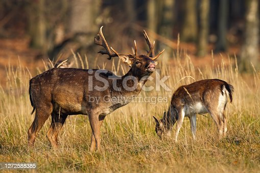 Couple fallow deer, dama dama,s grazing on field in autumn nature. Antlered stag sniffing in the air with female feeding on grass. Two wild mammals standing on glade in rutting season.