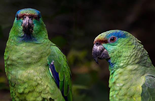 Ein paar festliche Papagei – Foto
