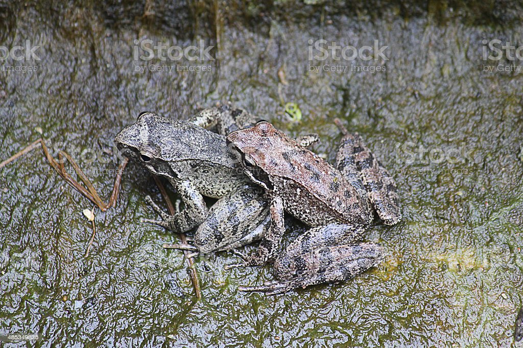 couple of frogs stock photo