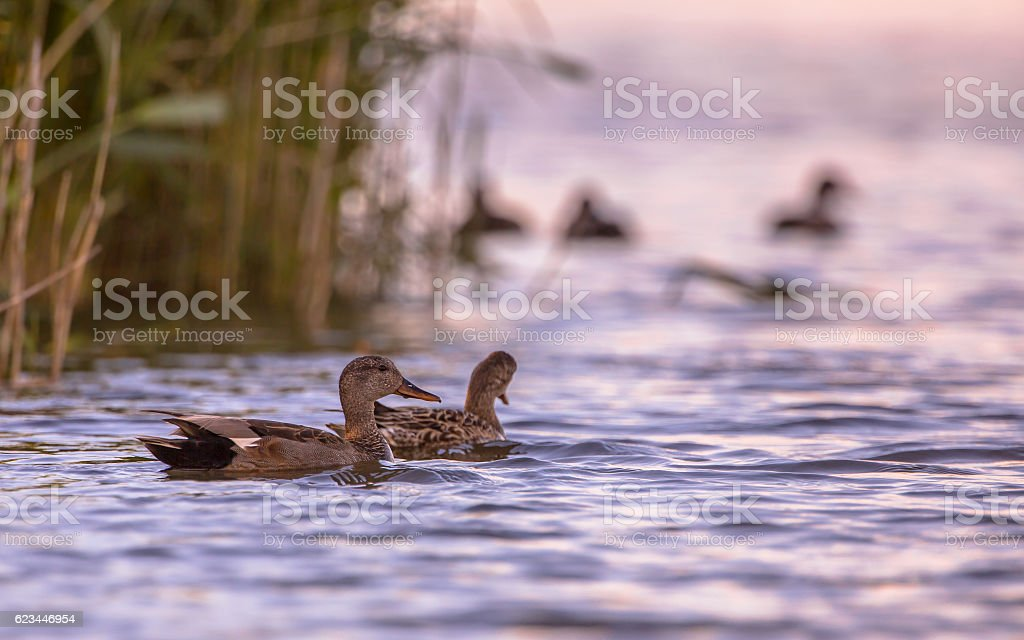 Couple of Gadwall stock photo
