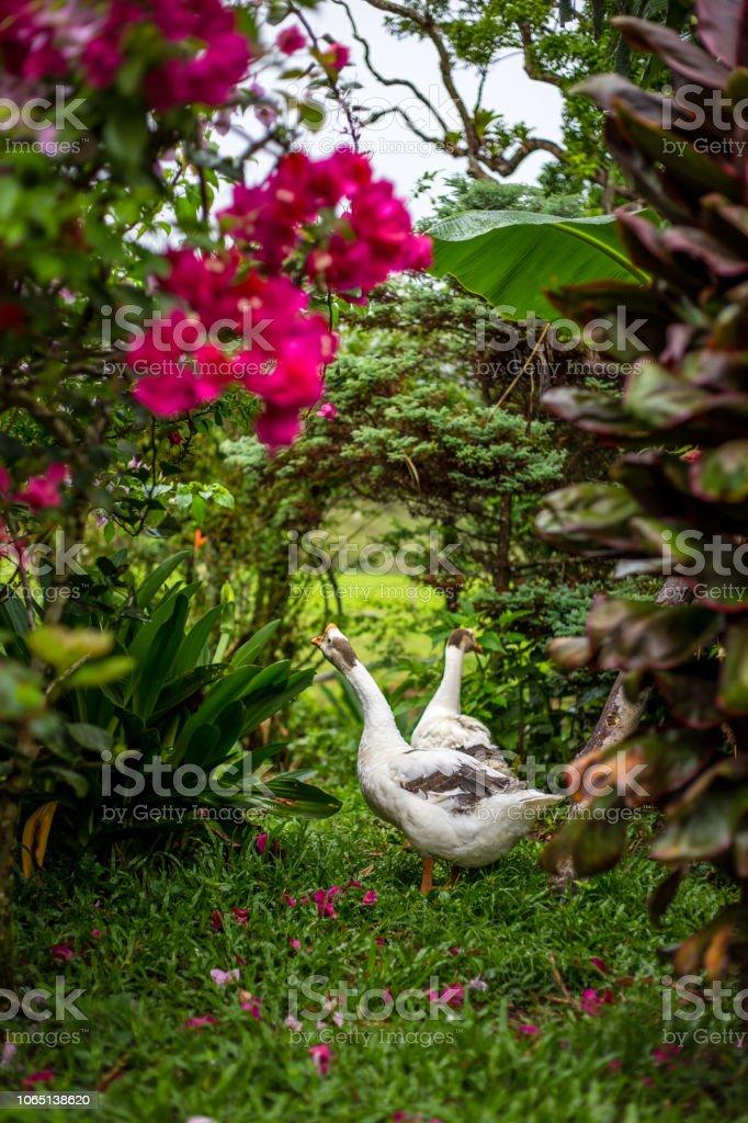 Casal de gansos em um jardim - foto de acervo
