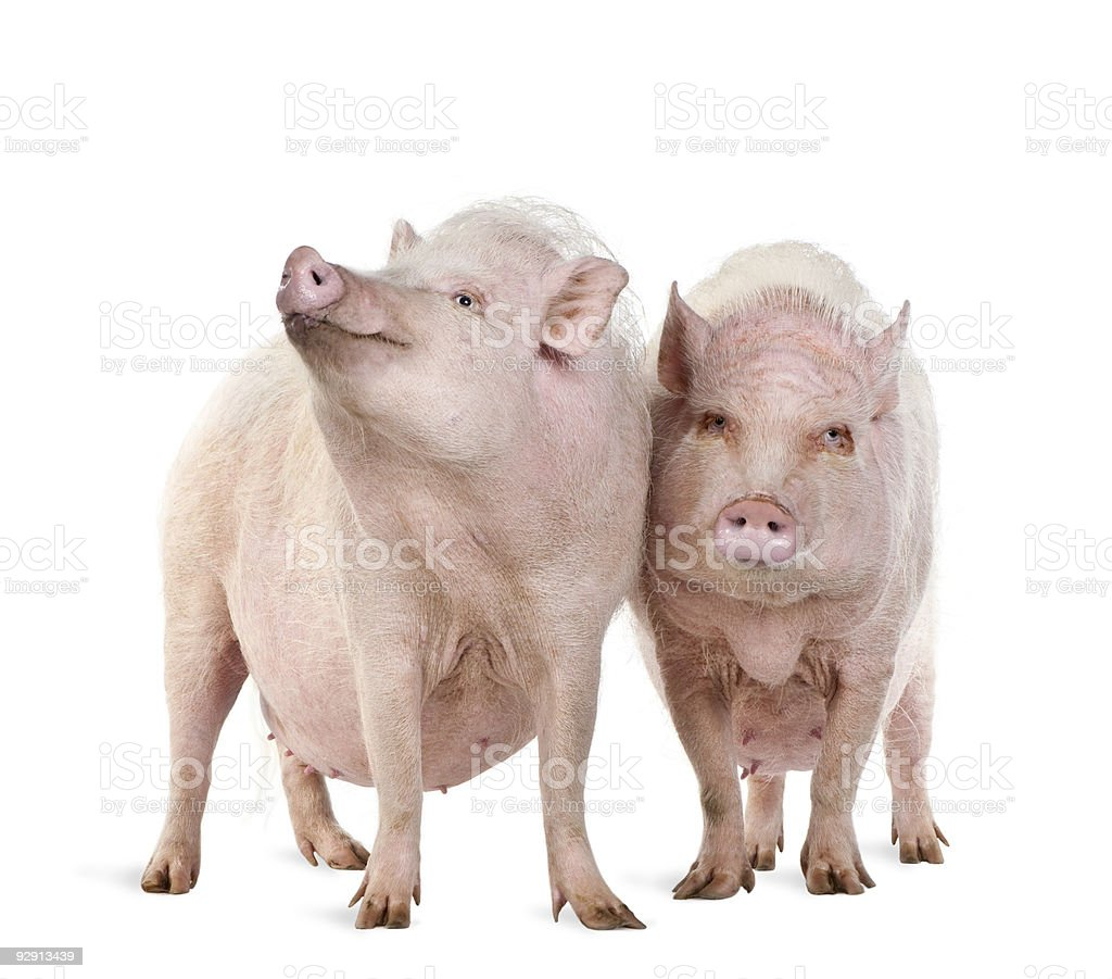couple of  Gottingen minipigs standing against white background stock photo