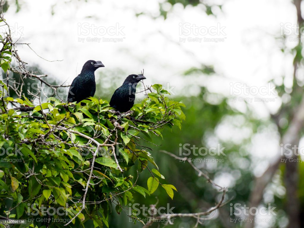 Two greater anis - large birds in the cuckoo family. Cuyabeno...