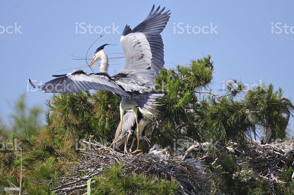 Couple of Grey Herons reparing nest royalty-free stock photo
