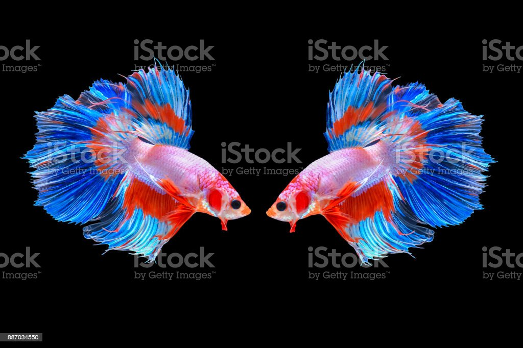 Couple of Halfmoon Siamese Fighting Fishes Isolated on Black Background, Clipping path stock photo