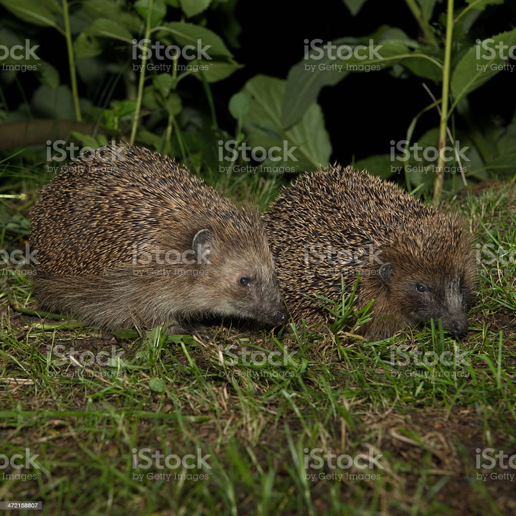 Couple of hedgehogs royalty-free stock photo