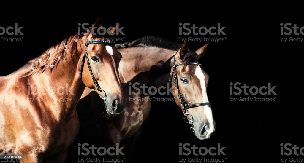 couple of hobby class horses poseing together stock photo