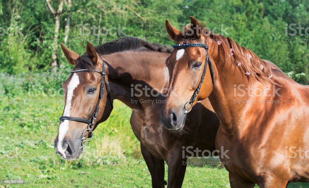 couple of hobby class horses posing together stock photo